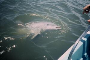 Dolphin near Fort Pulaski | Photo Fort Pulaski